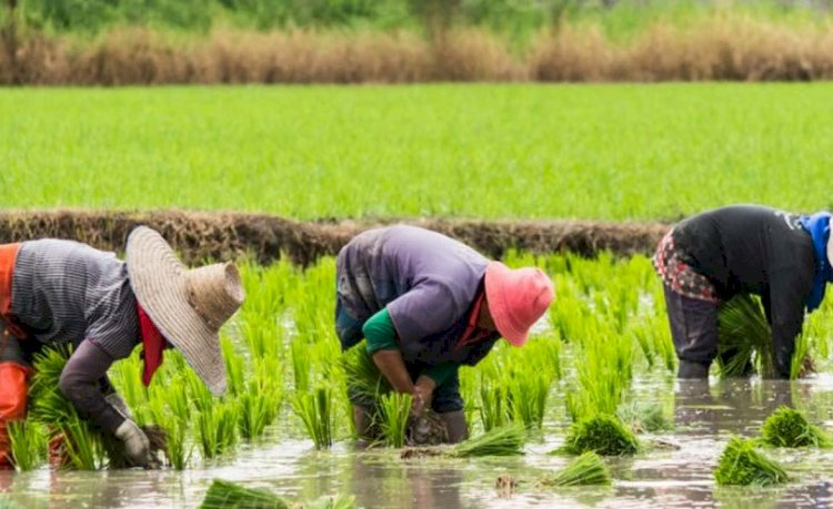 Nigeria: No Proof for '12 Million Jobs' in Nigeria's Rice Industry, As Presidential Aide Claimed